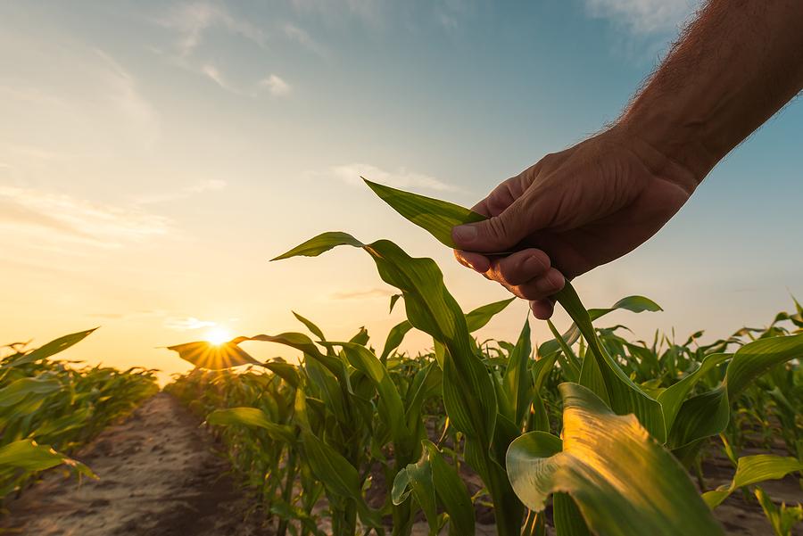Gusano Cogollero y su importancia en el cultivo de maíz